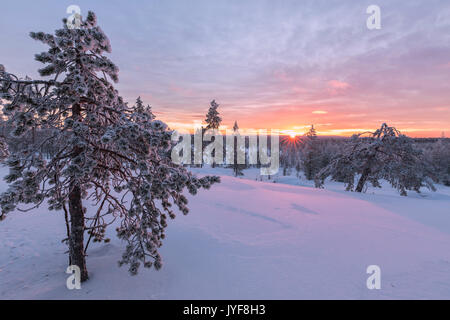 Pink lights of the arctic sunset illuminate the snowy woods Vennivaara Rovaniemi Lapland region Finland Europe - Stock Photo