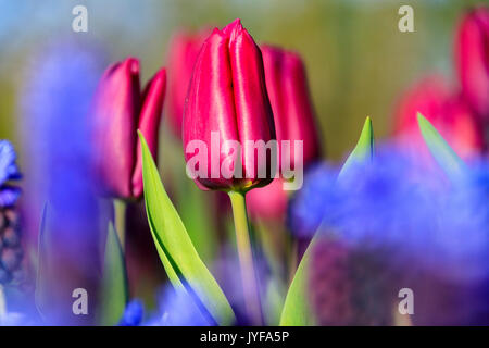 Close up of red and violet tulips in bloom at the Keukenhof Botanical garden Lisse South Holland The Netherlands - Stock Photo