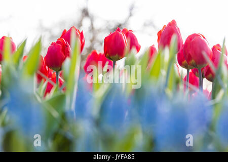 Close up of red tulips in bloom at the Keukenhof Botanical garden Lisse South Holland The Netherlands Europe - Stock Photo