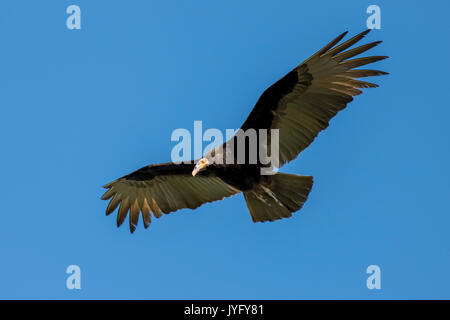 Lesser yellow-headed vulture (Cathartes burrovianus) in flight, Pantanal, Mato Grosso do Sul, Brazil - Stock Photo