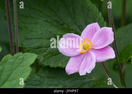 Japanese Anemone, Anemone hupehensis, in cultivation.  Monmouthshire, July - Stock Photo