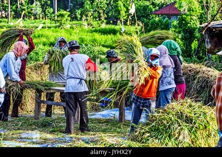 Indonésie. Bali. Région de l est, Amed. Paysans travaillant a la recolte du blé // Indonesia. Bali. Eastern Region, Amed. Peasant group working at har