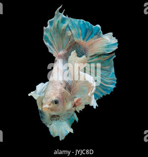 close up betta fish, siamese fighting fish isolated on black background - Stock Photo