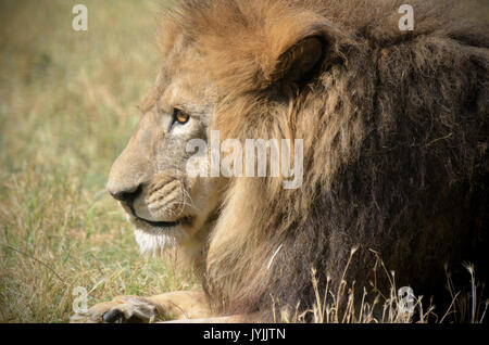 Male Lion resting in the zoo. Wild old lion potrait - Stock Photo