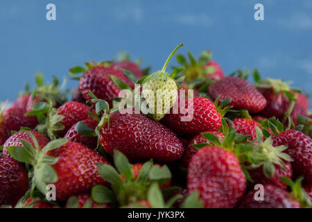 Green Strawberry Sits on Pile of Ripe Berries in front of blue background - Stock Photo