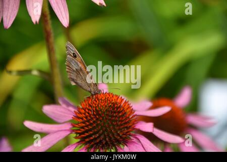 purpurea Echinacea with butterfly Maniola jurtina, meadow brown butterfly - Stock Photo