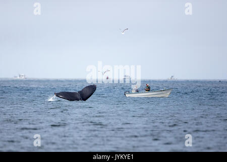 A Humpback Whale shows its tail near two fisherman in a small boat at Pacifica State beach, California. - Stock Photo