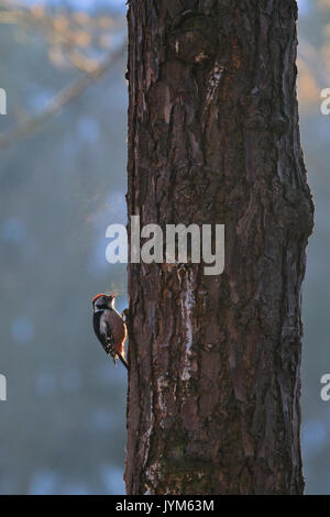 Middle Spotted Woodpecker, Dendrocopos medius - Stock Photo