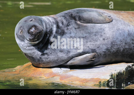 Grey Seal, Halichoerus grypus resting on a rock - Stock Photo