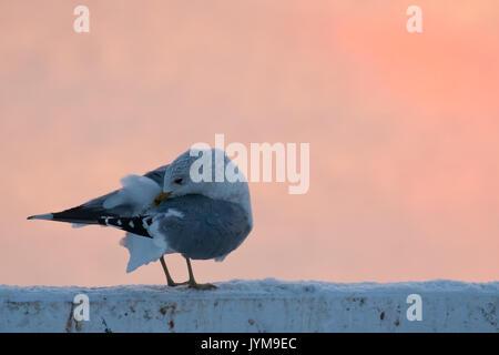 Adult Common Gull, Larus canus preening in morning light - Stock Photo
