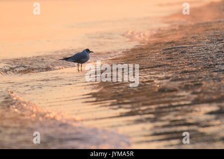 Adult Black-headed gull, Larus ridibundus on the sea shore in winter - Stock Photo
