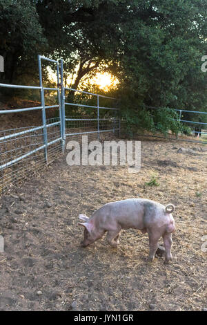 Young cute pet organic pink domestic pigs in a muddy farmyard pen at sunset, free range pork, permaculture, on the - Stock Photo
