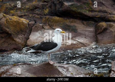 Herring Gull in Breeding  Plumage - Stock Photo