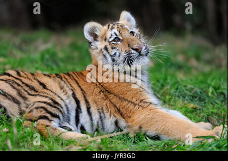 Close cute siberian tiger cub - Stock Photo