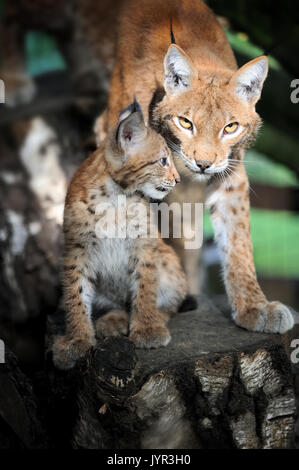 Close baby Eurasian Lynx in the forest - Stock Photo