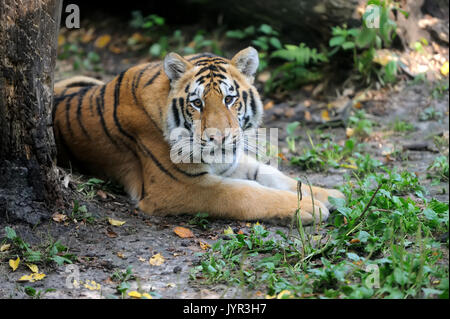 Tigers on green grass in summer day - Stock Photo