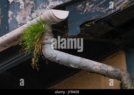 Reclaimed by nature: guttering on houses overgrown and blocked by thick growth of grass, weeds  and other plants - Stock Photo