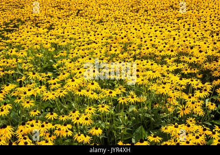 Densely planted yellow coneflower Rudbeckia fulgida var. sullivantii 'Goldsturm' flowers in bloom in Summer