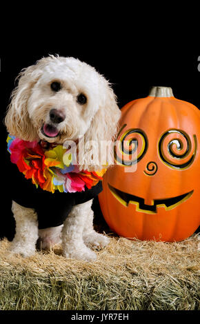 A cute white poodle mix sits on a bale of hay next to a jack-o-lantern smiling and looking at the camera wearing - Stock Photo