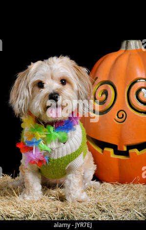 Cute small dog in halloween costume sitting next to a smiling pumpkin isolated on black looking straight at the - Stock Photo