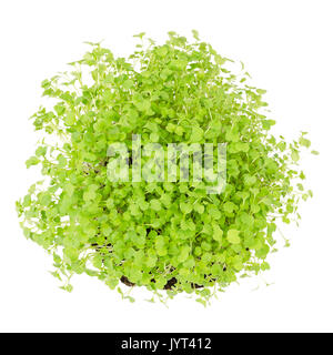 Rocket salad, fresh sprouts and young leaves from above on white background. Edible salad vegetable and microgreen. - Stock Photo