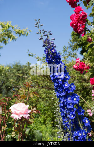 Close up of the blue flowers with a white center in a delphinium with a pink rose on the left and a wild rose bush - Stock Photo