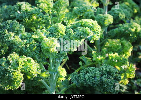 Young kale growing in the vegetable garden - Stock Photo