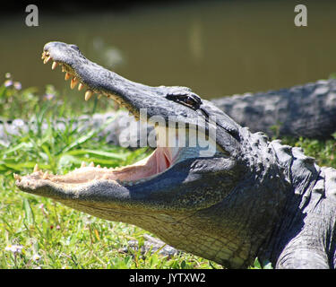 Alligator in profile open mouth - Stock Photo