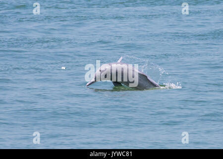 A young Indo-Pacific Humpback Dolphin (Sousa chinensis) breaching in Hong Kong waters, with rubbish (plastic bottle) - Stock Photo