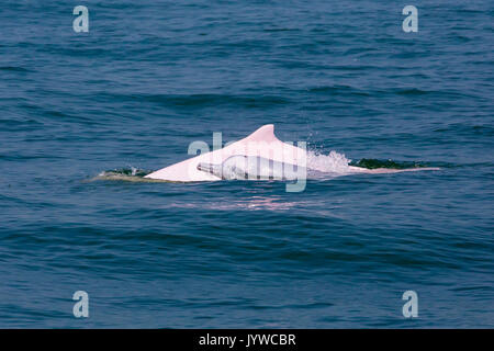 Indo-Pacific Humpback Dolphin (Sousa chinensis) mother and baby in HK waters. - Stock Photo