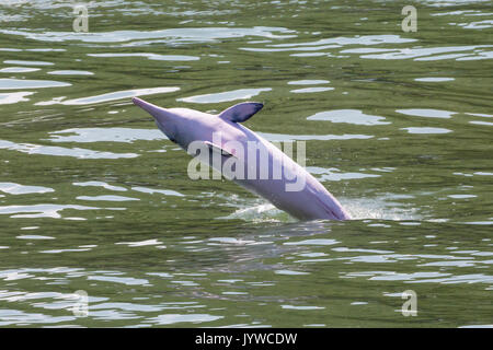 Indo-Pacific Humpback Dolphin (Sousa chinensis) breaching in Hong Kong waters. This coastal species is subject to - Stock Photo