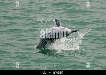 A young Indo-Pacific Humpback Dolphin (Sousa chinensis) breaching / jumping in Hong Kong waters. - Stock Photo