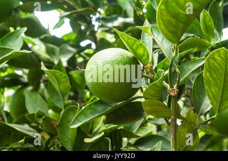 Unripe orange growing on the tree, USA - Stock Photo