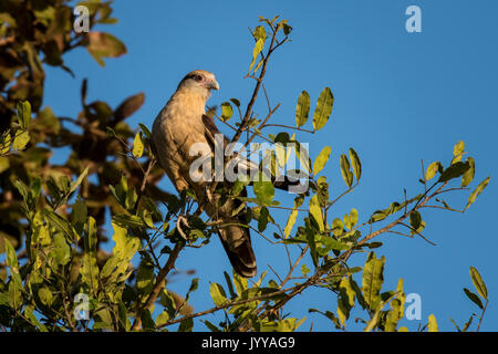 Yellow-headed caracara (Milvago chimachima) sitting in tree, Pantanal, Mato Grosso do Sul, Brazil - Stock Photo