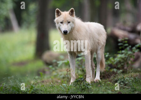 Arctic wolf, Canis lupus - Stock Photo