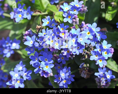 Forget-me.Not Flowers - Stock Photo