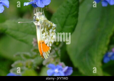 Male Orange Tip Butterfly Resting - Stock Photo