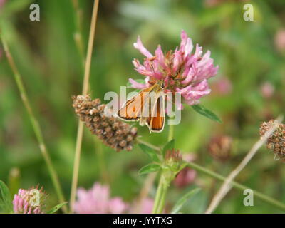 Essex Skipper Butterfly at Rest - Stock Photo