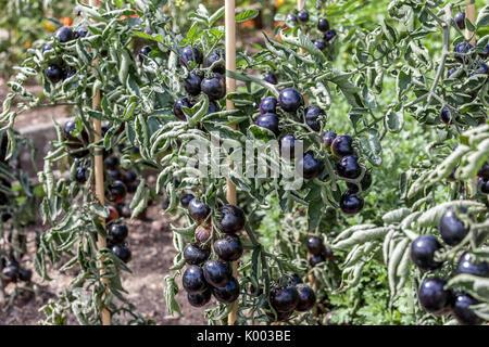 Tomatoes growing on vine, Black tomatoes,Tomato 'Indigo Rose' - Stock Photo