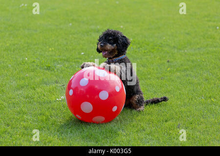 toy poodle sitting up and begging with a ball - Stock Photo