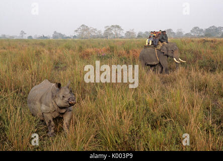 Indian tourists on elephant watching Asian one-horned rhinoceros, Kaziranga National Park, Assam, India - Stock Photo