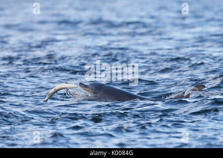 Bottlenose dolphin hunting & feeding on salmon in the Moray Firth - Stock Photo