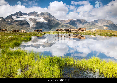 Cows on the shore of the lake where high peaks and clouds are reflected Bugliet Valley Bernina Engadine Switzerland - Stock Photo