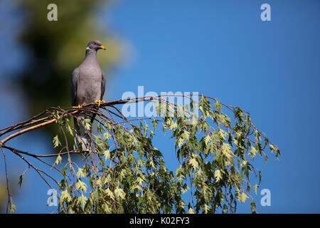 Band-tailed Pigeon resting on a tree branch - Stock Photo