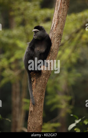 Blue monkey (Cercopithecus mitis stuhlmanni), in the Kakamega Forest, Western province, Kenya, subjects of long - Stock Photo