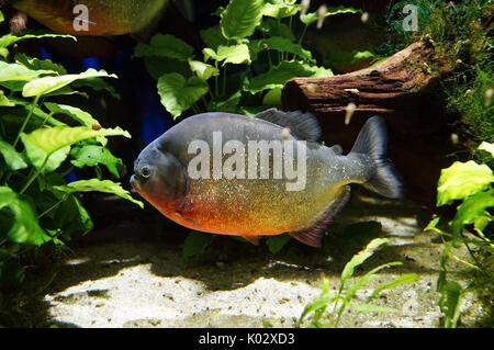 Piranha fish underwater close up view. Member of family Characidae - Stock Photo