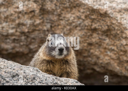 Baby yellow-bellied marmot - Stock Photo
