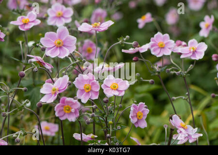 Japanese anemone (Anemone hupehensis) in flower. Pink garden plant in the family Ranunculaceae, aka Chinese anemone, - Stock Photo