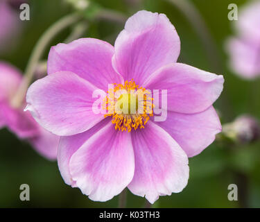 Japanese anemone (Anemone hupehensis) plants in flower. Pink garden plant in the family Ranunculaceae, aka Chinese - Stock Photo
