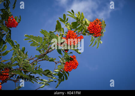 Red rowan tree in the end of summer, nature background - Stock Photo